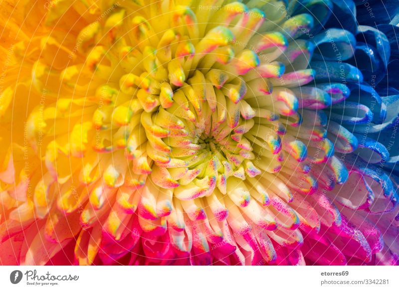Multicolored flower isolated Aromatic Neutral Background Background picture Beautiful Flower Blue Chrysanthemum Colour Multicoloured Copy Space Daisy Decoration