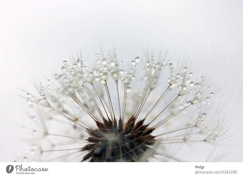Close-up of a filigree dandelion with drops Environment Nature Plant Drops of water Spring Flower Wild plant Dandelion Seed Meadow To hold on Stand Faded