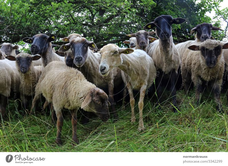 flock of sheep Animal Farm animal Sheep Herd Looking Wait Natural Curiosity Cute Environment Colour photo Exterior shot Deserted Day Worm's-eye view