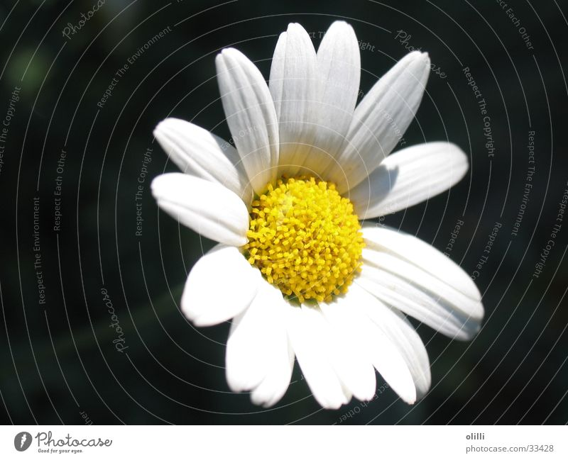 White Flower Plant Nutrition Yellow Marguerite
