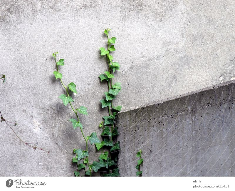 Green Plant Gray Wall (barrier) Hope Ivy Tenacious