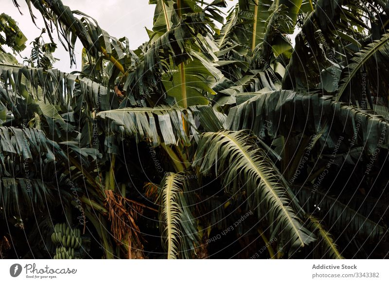Exotic green leafs of palms foliage tree flora plant exotic tropical jungle rainforest woods nature environment fresh lush ecology island summer leaves sky