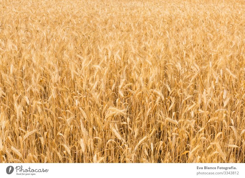 YELLOW WHEAT FIELD on summer. Ears ready for harvest. Blue sky and olive trees on the background Yellow Grain Gold Plant Bread Cereal Field Nature Rural Seasons