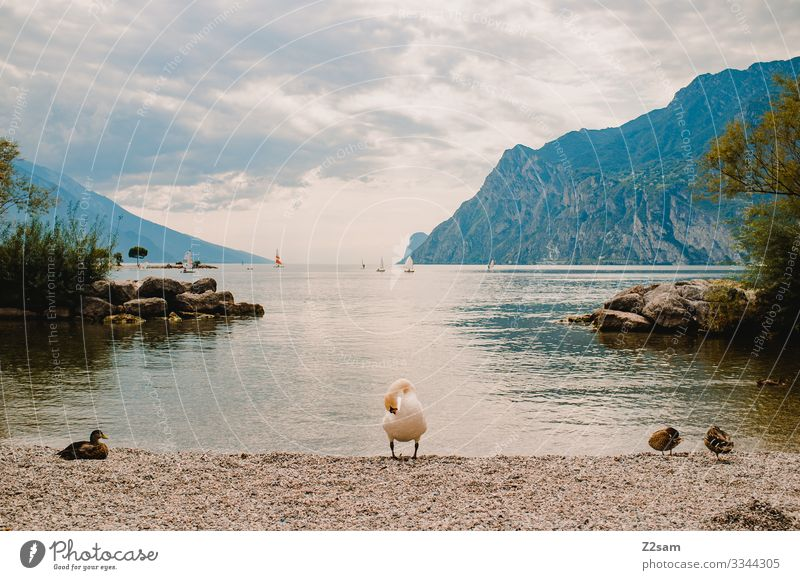 Swan at Lake Garda Water mountain lake bank mountains Bay animals birds Sailing Summer vacation clouds sky polish Natural Exterior shot Vacation & Travel