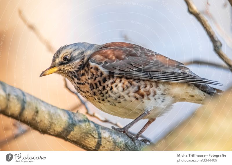 Thrush in tree Nature Animal Sky Sunlight Beautiful weather Tree Twigs and branches Wild animal Bird Animal face Wing Claw Turdus Pilaris Throstle Head Beak