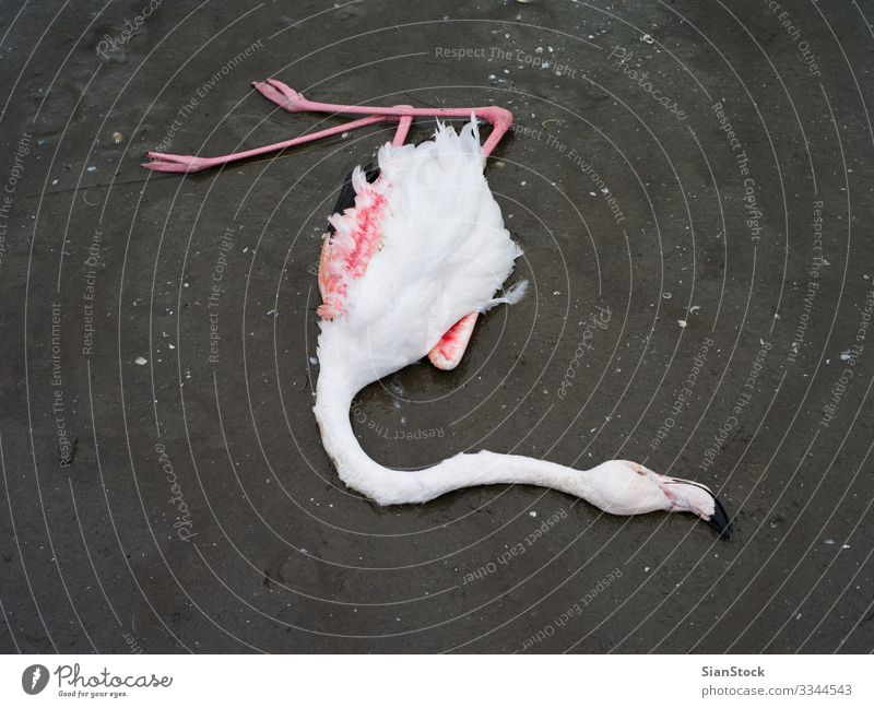 Dead flamingo in delta of river Evros, Greece Beautiful Body Nature Animal Coast Lake Bird Flamingo Natural Wild Pink Red White Death Colour wildlife background