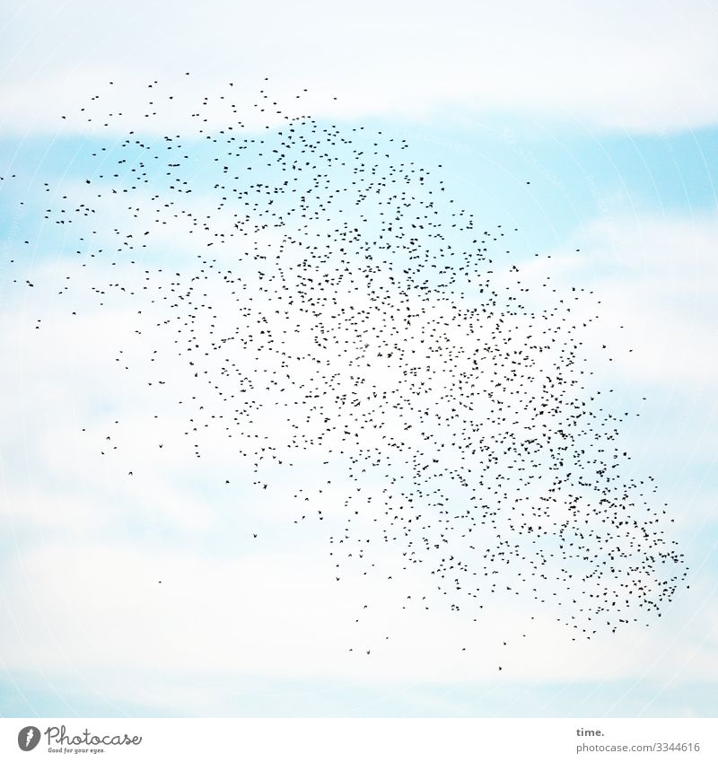 6.500 flying hours Sky travel Blue light blue Sky blue Summer birds Starling Flock of birds Clouds Flying discovery Aerobatics at the same time in common