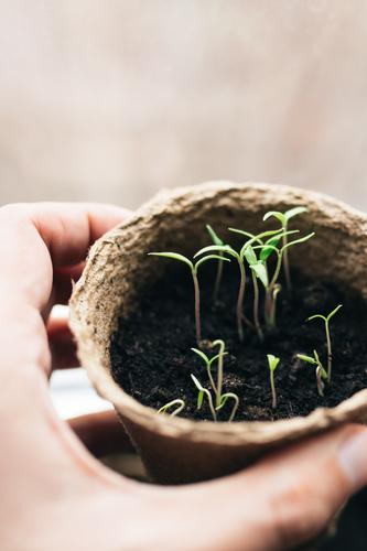 spring tomato seedlings in a peat pot Lifestyle Shopping Handcrafts Study University & College student Professor Work and employment Gardening Business Career