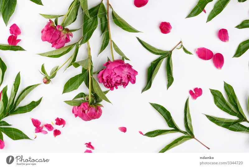 pink blooming peonies with green leaves Design Summer Decoration Feasts & Celebrations Mother's Day Wedding Nature Plant Flower Leaf Blossom Bouquet Love Fresh