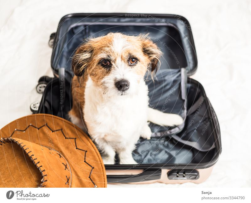 Small mongrel dog sitting in a suitcase Lifestyle Vacation & Travel Adventure Far-off places Summer vacation Bed Animal Pet Dog Animal face Pelt 1 Suitcase