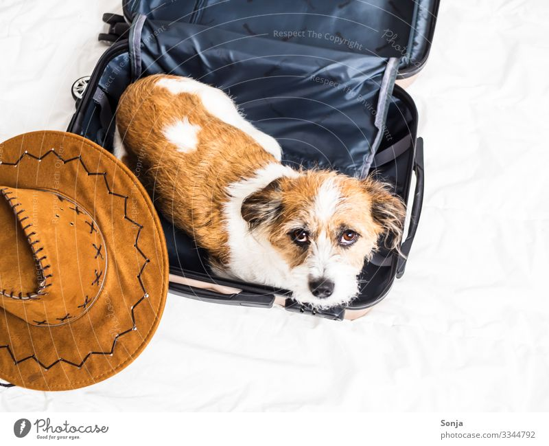 Small terrier dog lies in a suitcase Animal Pet Dog Animal face 1 Suitcase Sunhat Bed Relaxation Lie Looking Poverty Hip & trendy Beautiful Funny Maritime