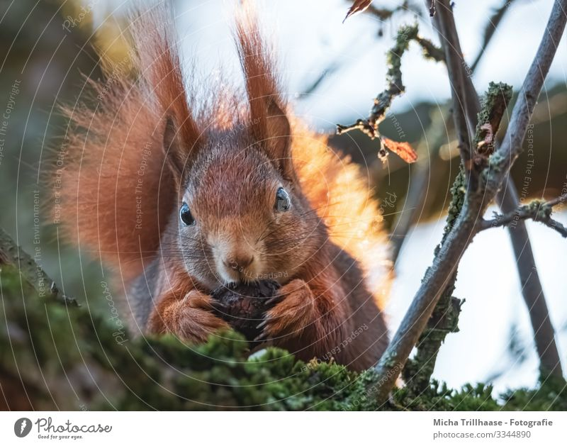 Squirrel with walnut Nature Animal Sky Sun Sunlight Beautiful weather Tree Twigs and branches Wild animal Animal face Pelt Claw Paw Head Eyes Ear Tails 1