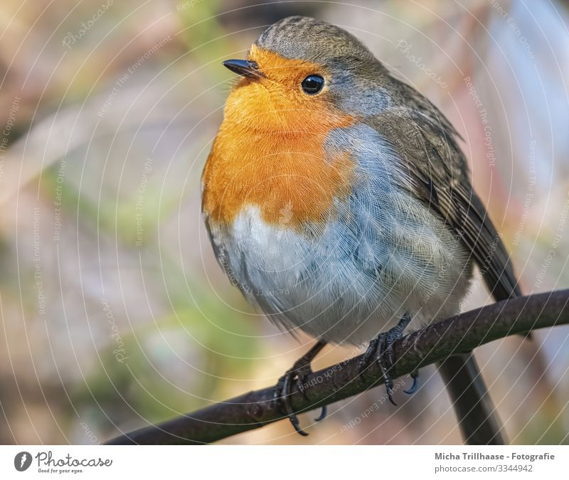 Redthroat Portrait Nature Animal Sun Sunlight Beautiful weather Tree Twigs and branches Wild animal Bird Animal face Wing Claw Robin redbreast Head Beak Eyes