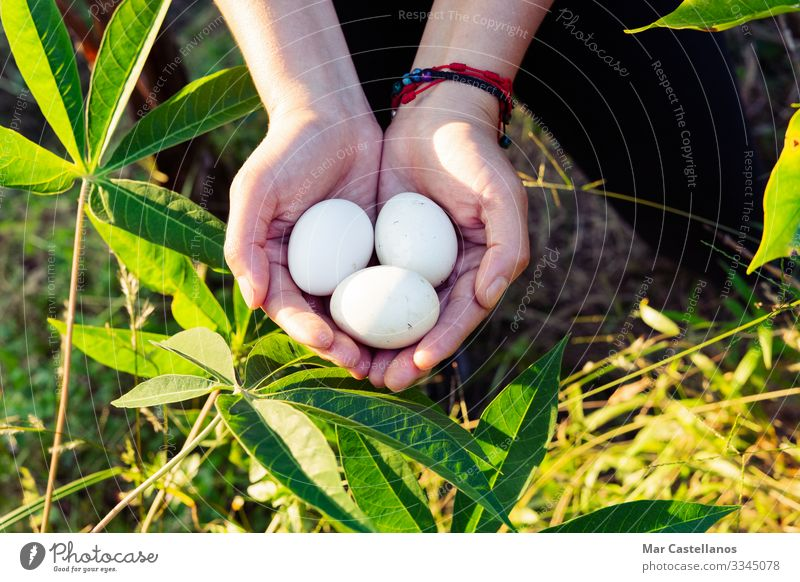 Women's hands holding three white eggs. Food Nutrition Lifestyle Healthy Eating Wellness Woman Adults Hand Fingers 1 Human being Nature Spring Field Farm animal