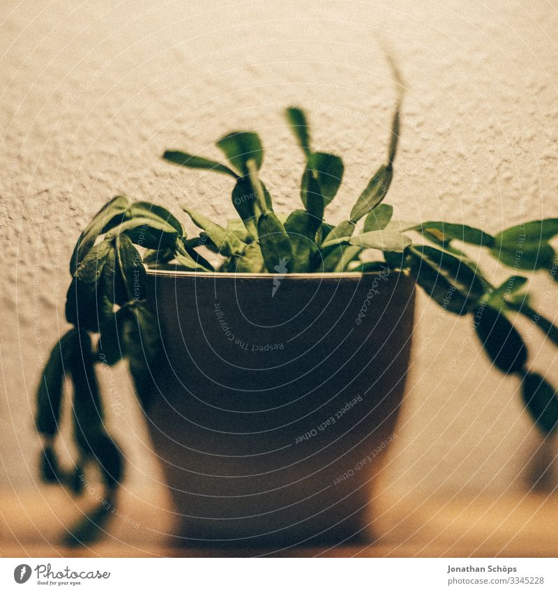 cactus as houseplant with hanging leaves in a pot on the shelf at home Healthy Green Close-up Colour photo Plant Leaf Agricultural crop Natural Pot plant