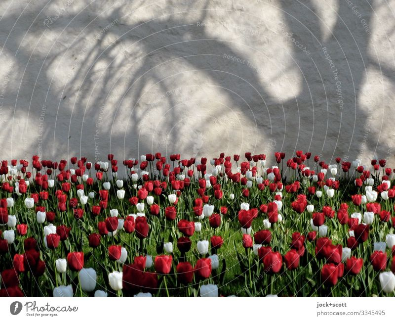 Monastery garden with 2000 tulips Happy Trip Spring Beautiful weather Tree Tulip Tulip field Offenbach Wall (barrier) Wall (building) Blossoming Exceptional