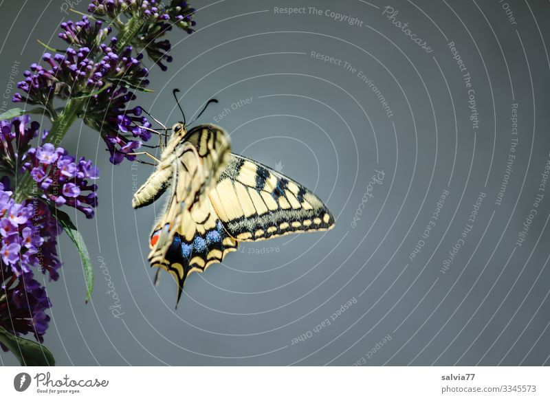 Swallowtail on butterfly bush in front of grey background Nature Flower Violet Close-up Plant Blossom Deserted Summer Exterior shot Fragrance Day Colour photo