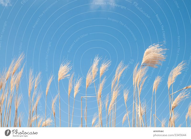 Pampas grass in the wind with blue sky Grass Sky Blue Wind Plant Agriculture Summer