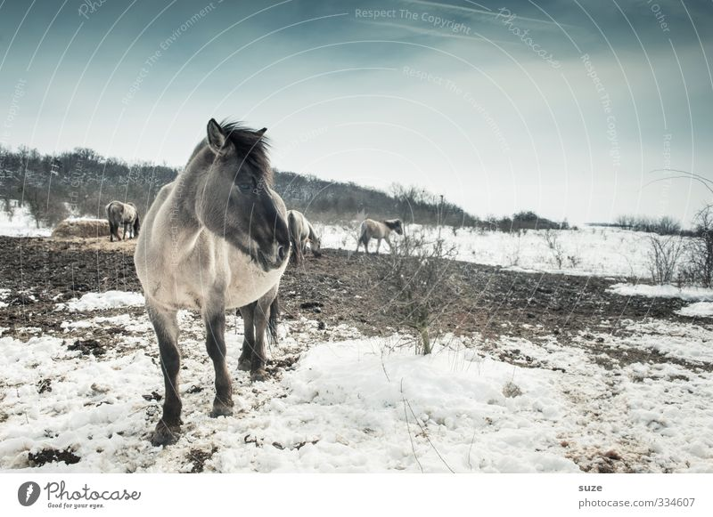 Sky Nature Blue White Animal Winter Cold Environment Snow Horizon Wild Wild animal Stand Authentic Cute Horse