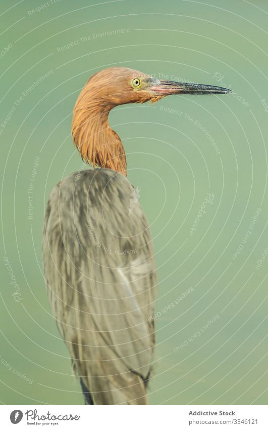 Amazing fixed heron with black beak looking away bird species nature fauna feather plumage environment natural wild water animal elegant great wing exotic