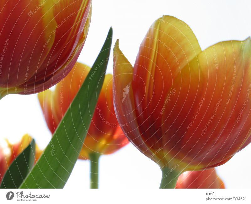 tulips Tulip Fresh Spring Flower Blossom