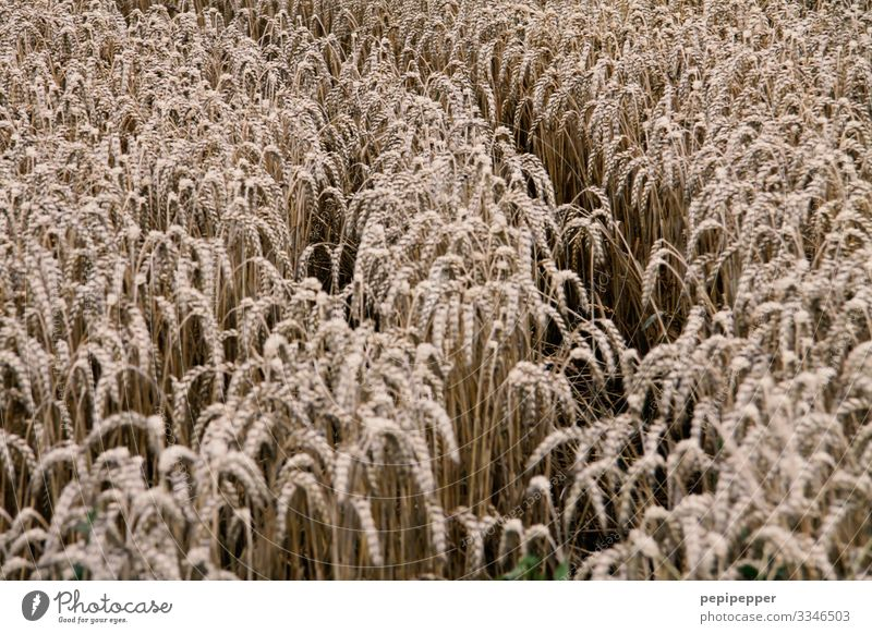 cornfield Grain Nutrition Environment Nature Plant Earth Summer Grass Agricultural crop Wheat Rye Field Growth Subdued colour Exterior shot Deserted Day