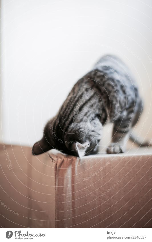 Cardboard and cat child Colour photo Copy Space Cat Domestic cat Kitten Tiger skin pattern Crouch Curiosity Looking Bright background Above Playing Cute Gray