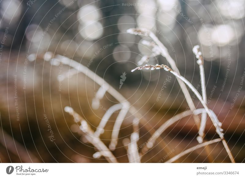 Freeze/thaw in backlight Nature Plant Winter Beautiful weather Grass Bushes Brown Frost Dew Colour photo Multicoloured Exterior shot Close-up Detail