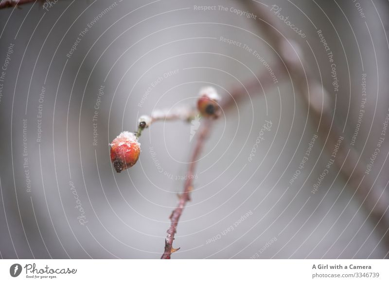 Red berry Environment Nature Plant Winter Ice Frost Tree Twig Branch Rose hip Forest Natural Round Serene Calm Subdued colour Exterior shot Close-up Detail