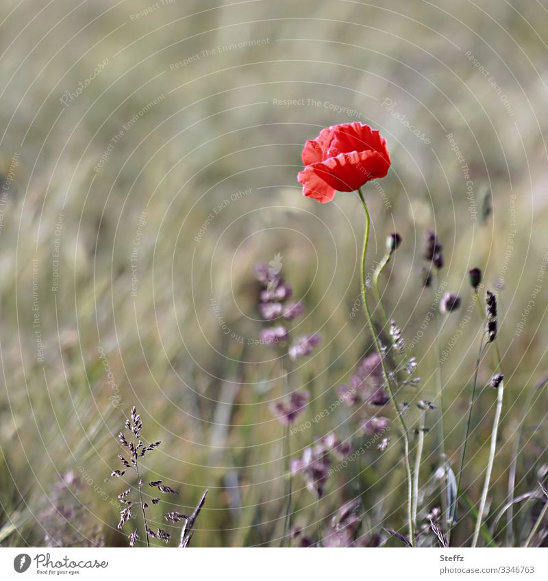 Flowering meadow with red poppy Poppy Poppy blossom Red Nature Meadow red flower summer meadow Shallow depth of field Neutral Background meadow flowers