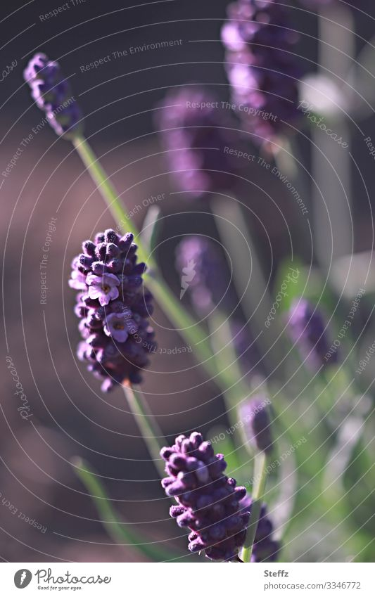 Garden atmosphere Environment Nature Summer Beautiful weather Plant Flower Blossom Agricultural crop Lavender Medicinal plant Summerflower Germany Blossoming