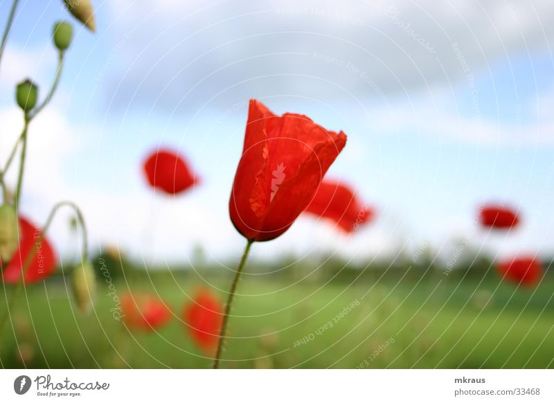 Poppies in the wind Flower Poppy mohs blossom Bud Sky