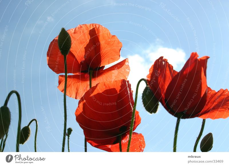 red poppy Flower Poppy mohs blossom Bud Sky