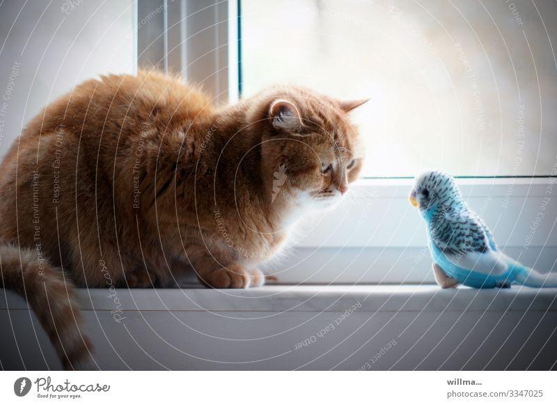 Cat hypnotizes a budgie Window Pet Budgerigar Observe Sit Hypnotic Hypnotize Looking Animal portrait