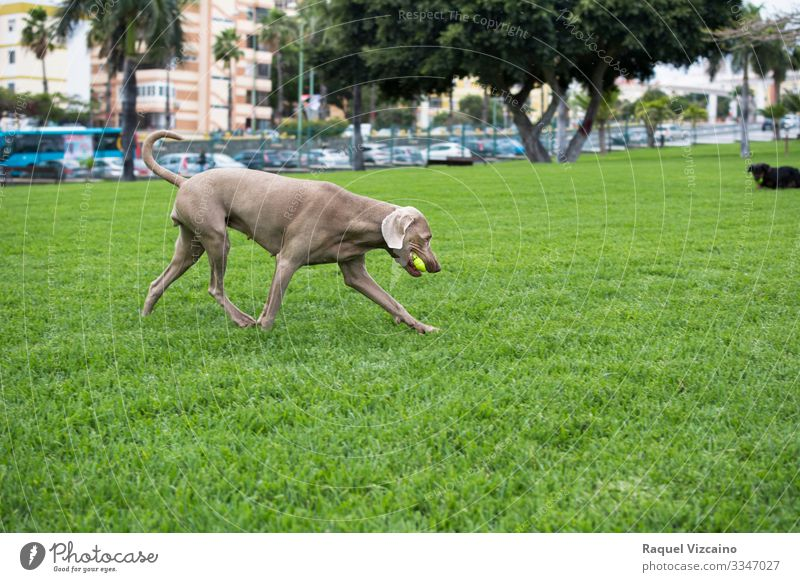Weimaraner dog running Playing Summer Nature Animal Grass Park Pet Dog 1 Running Gray Green ball field pureblood Breed free time Farm Mammal Foal animals Pony