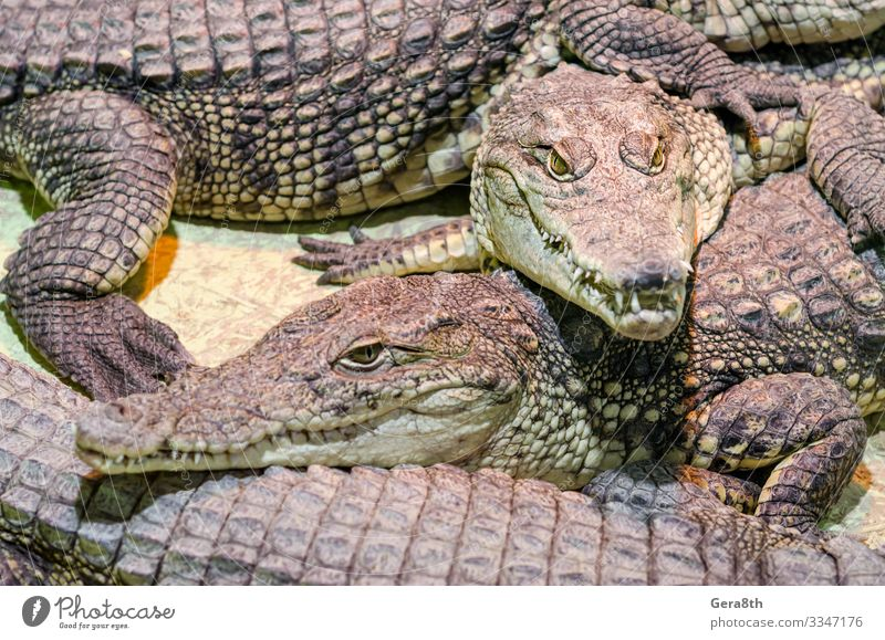 several alligator crocodiles close up Exotic Skin Mouth Teeth Nature Animal Leather Wild Green Dangerous Colour Alligator background big carnivorous