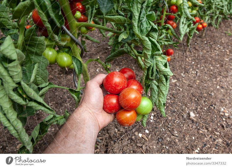 tomato harvest Food Vegetable Fruit Nutrition Organic produce Vegetarian diet Fasting Italian Food Garden Work and employment Agriculture Forestry Human being