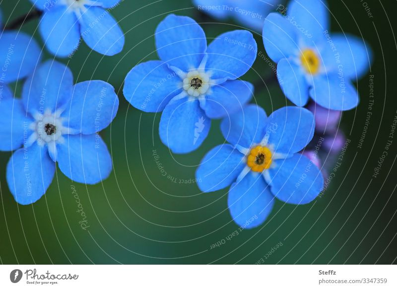 several blue flowering forget-me-not flowers Forget-me-not Blue spring flowers blossom Spring Flower Blossom dark blue Blossoming Nature Environment Close-up