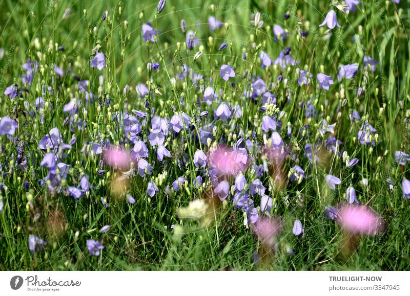 Shining healing power of a flower meadow with fresh grasses and flowers in green, light blue, white, yellow and purple spring Summer Meadow Grass bleed sunshine