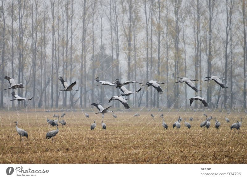 crane time Environment Nature Landscape Animal Autumn Weather Bad weather Field Wild animal Bird Group of animals Blue Gray Crane Flying Floating Colour photo