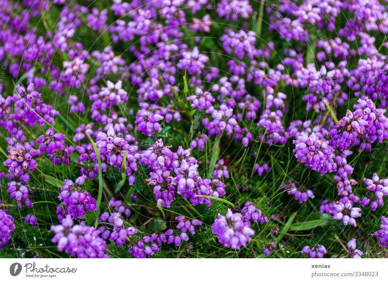 Violet bell heath with green grass Heather family Grass Green Nature Landscape Plant Flower Blossom Wild plant Mountain heather Small Round Many Environment