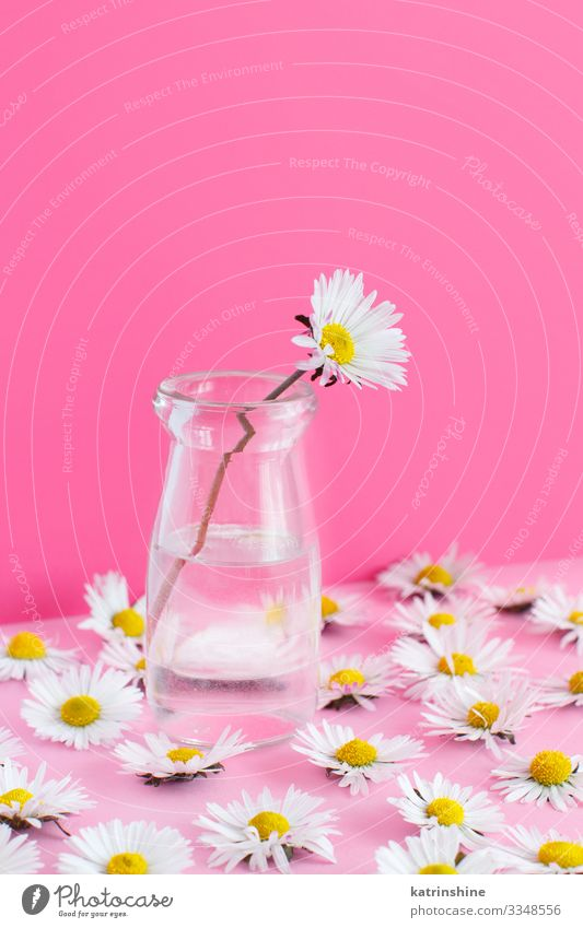 Spring composition with daisies on a light pink background Design Decoration Wedding Woman Adults Mother Flower Pink White Creativity daisy jar water Text Word