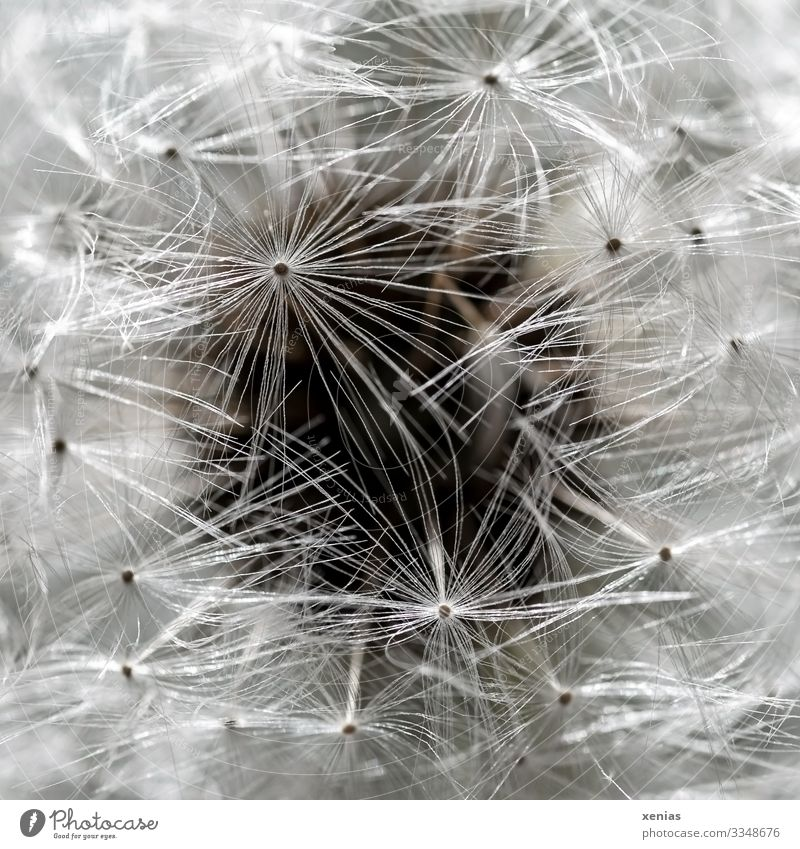 Macro shot of a dandelion with dark circle in the background Dandelion Plant Blossom Faded Small Soft Brown White Ease Mature Easy Seed paraglider Pappus