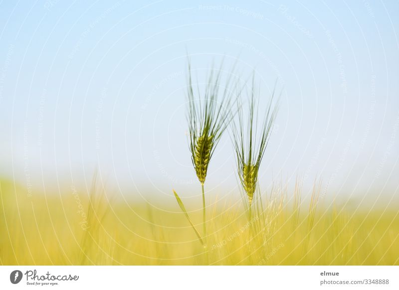 pas de deux Environment Cloudless sky Sun Summer Beautiful weather Agricultural crop Barley Barley ear Awn Cornfield Grain Ear of corn Field Bright Blue Yellow