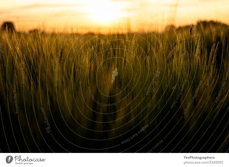 Grainfields close-up at golden hour. Wheat in light Summer Nature Landscape Plant Agricultural crop Growth Natural agricultural fields agriculture Cereal Crops