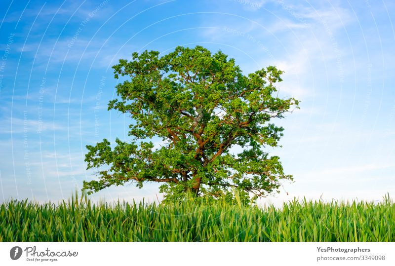 Single oak tree between agricultural fields under a blue sky Summer Environment Nature Landscape Beautiful weather Tree Agricultural crop Meadow Field
