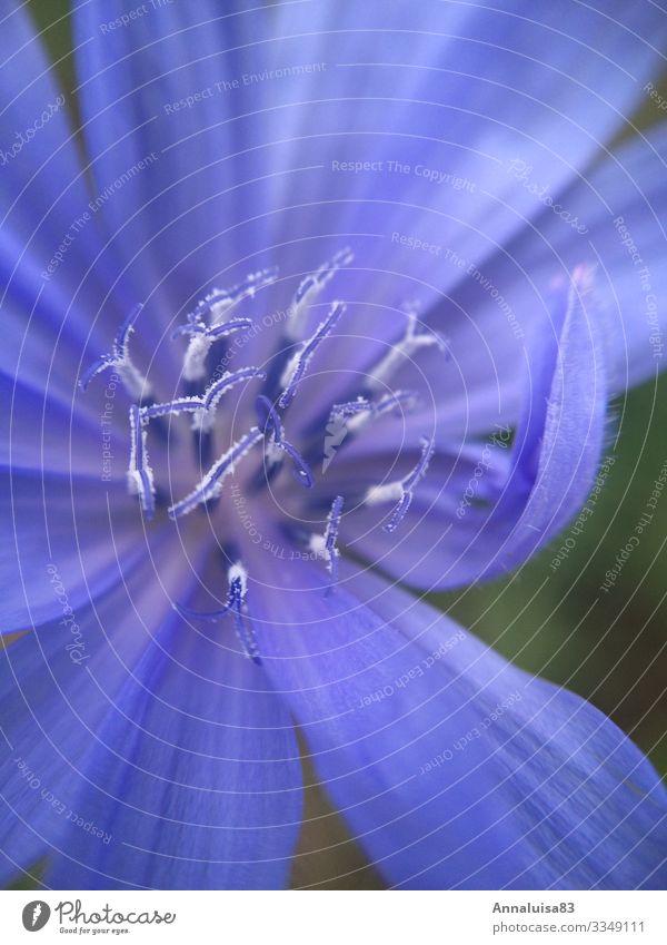 Blue flower Nature Plant Beautiful weather Flower Grass Bushes Blossom Wild plant Garden Chicory Colour photo Exterior shot