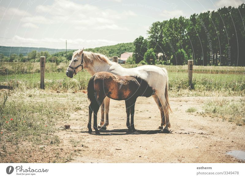 Two horses free in the field,Mare breastfeeding her breeding Eating Freedom Nature Landscape Animal Grass Meadow Field Farm animal Horse 2 Baby animal