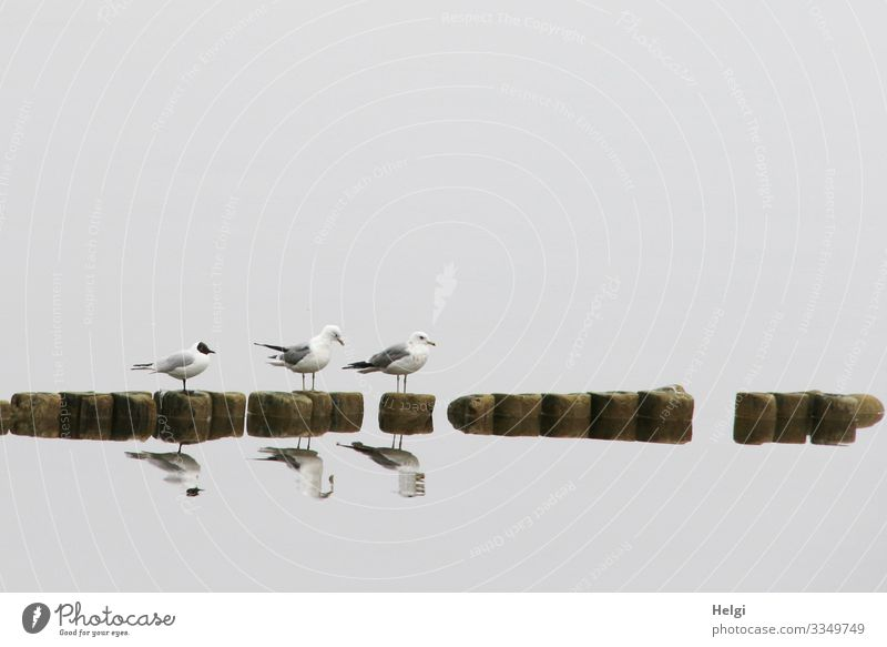 three seagulls stand on a groyne in the fog and are reflected in the water Environment Nature Animal Water Spring Fog Island Usedom backwater Wild animal Bird