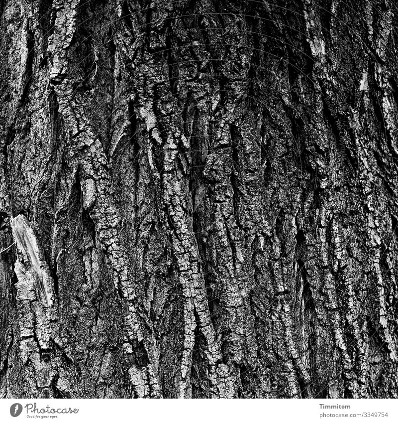 Old bark Environment Nature Tree Forest Wood Gray Black White Emotions Tree trunk Tree bark Black & white photo Exterior shot Deserted Day Contrast